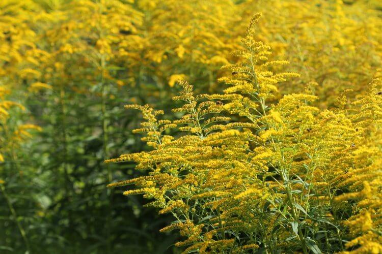 秋の鼻アレルギーで多いキク科の植物