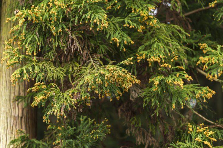 岐阜県の山林地域に多いスギの木