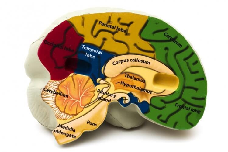 視床下部オレキシンによる睡眠と覚醒の調節